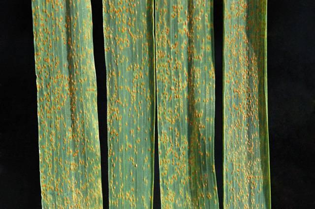 Стеблевая (линейная) ржавчина злаковых культур