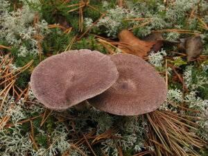 Всё ли вы знаете о грибе рядовка серная?