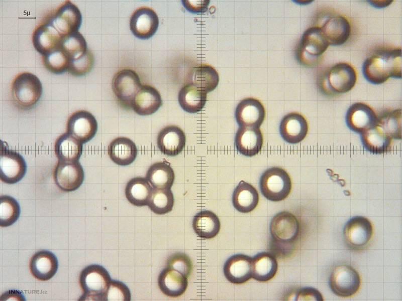 Поплавок жёлто-коричневый (amanita fulva)