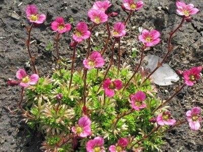Нежные цветы датуры: выращивание из семян в домашних условиях