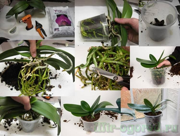 проводится семейная пересадка орхидеи пошаговое фото деткам очень