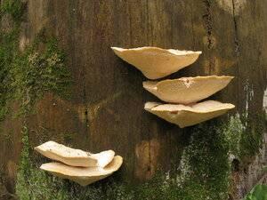 Характеристики trichoderma harzianum, морфология, репродукция