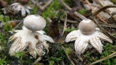 Звездовик гриб съедобный или нет