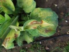 О болезнях и вредителях хосты (что делать с пятнами на растении, чем лечить)