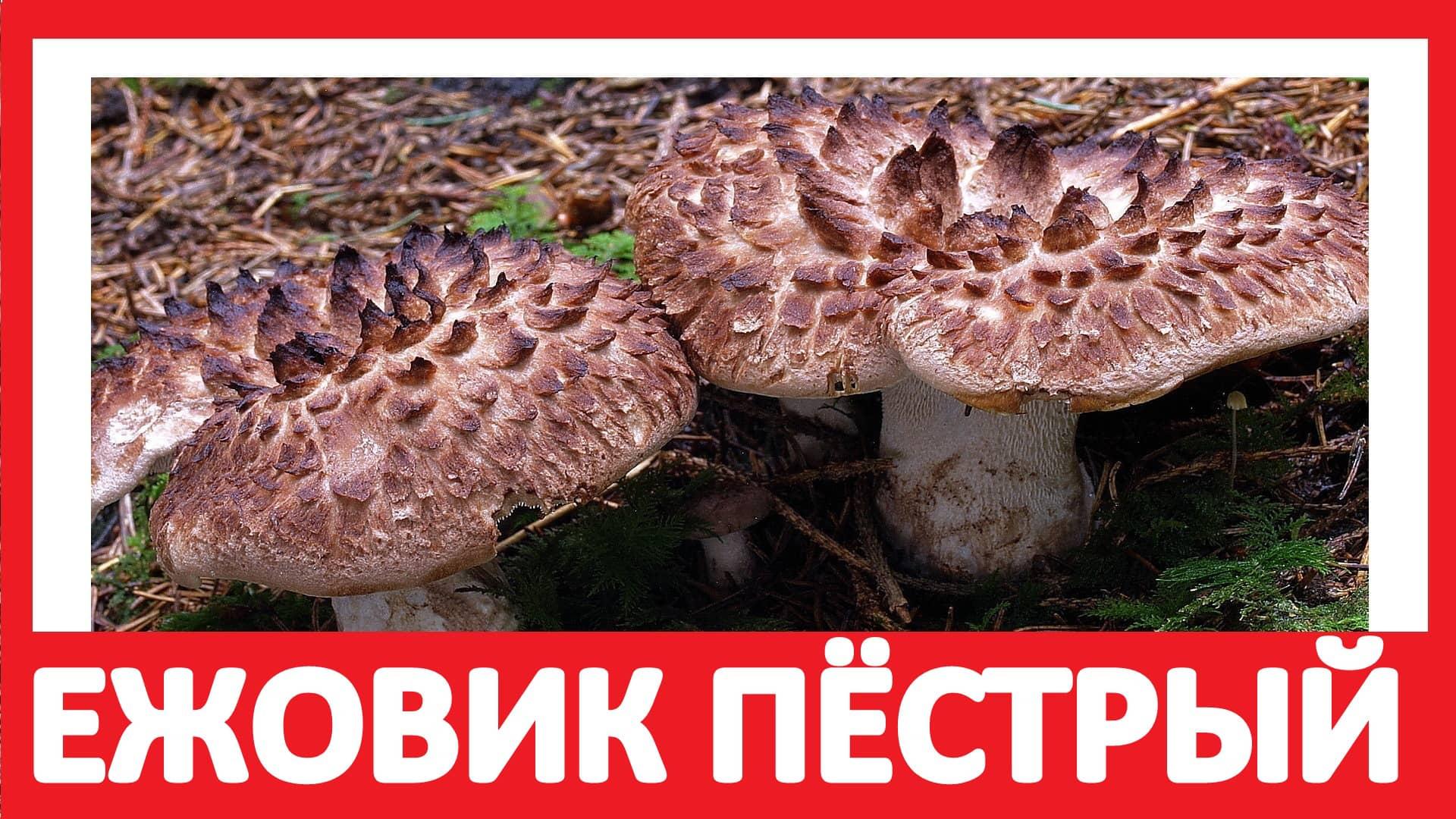 Мацутакэ — описание, где растет, ядовитость гриба
