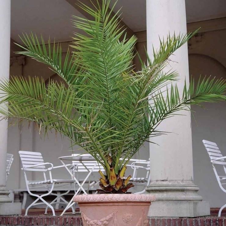 Финиковое дерево фото в домашних условиях