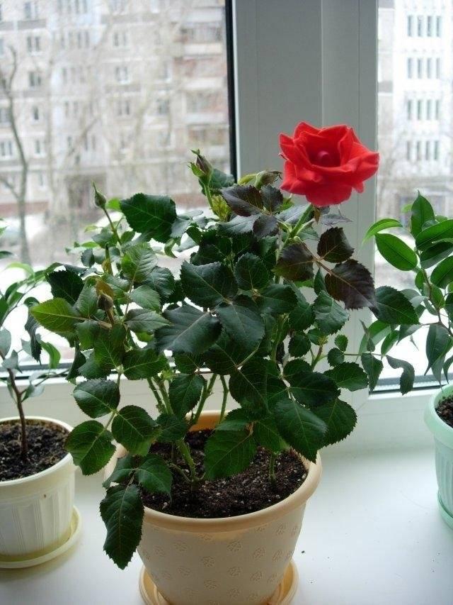 услугам домашняя роза уход в домашних условиях фото той теме рассматривали