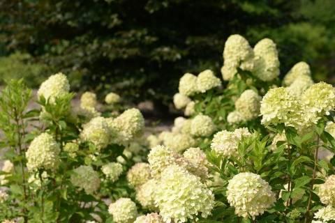 Гортензия метельчатая «лаймлайт»: описание, посадка и уход