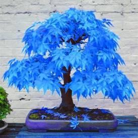 Выращиваем бонсай клен дома: на выбор синий, голубой или красный цвет деревца