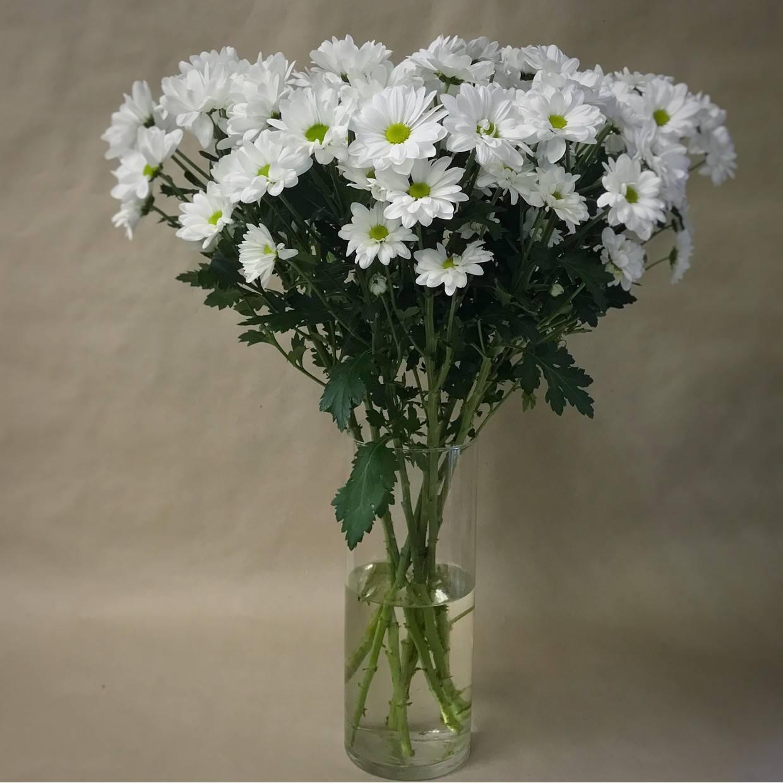какой ромашковидные хризантемы фото пил валерианку