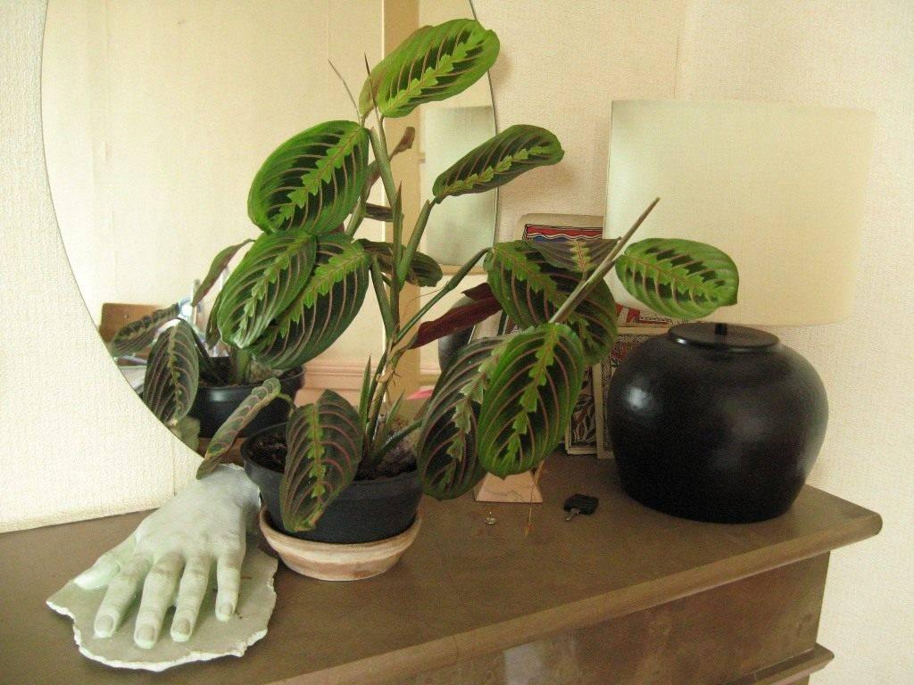 Уход за молитвенным растением — марантой трехцветной