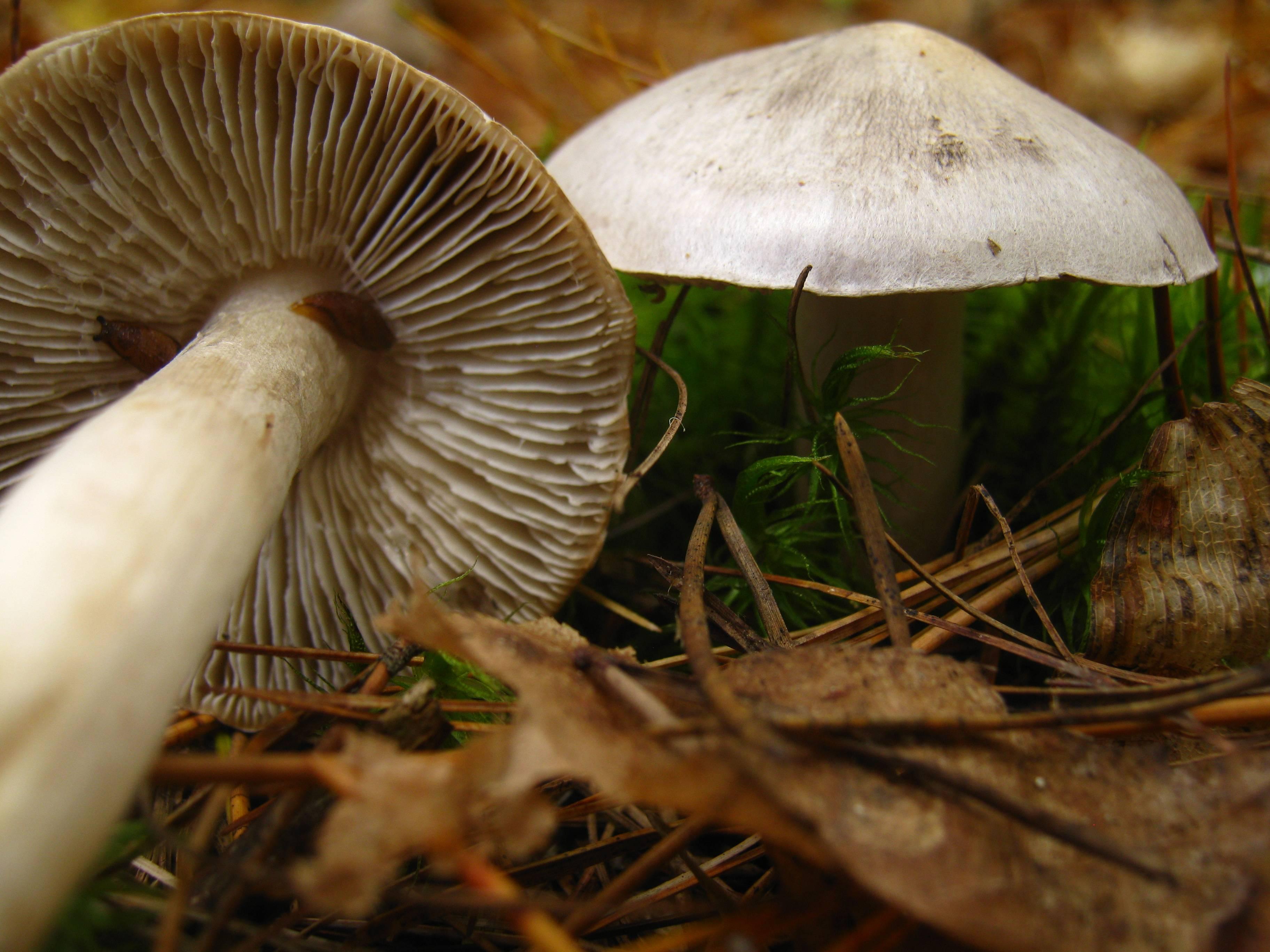 В чем особенность гриба рядовка надломленная?