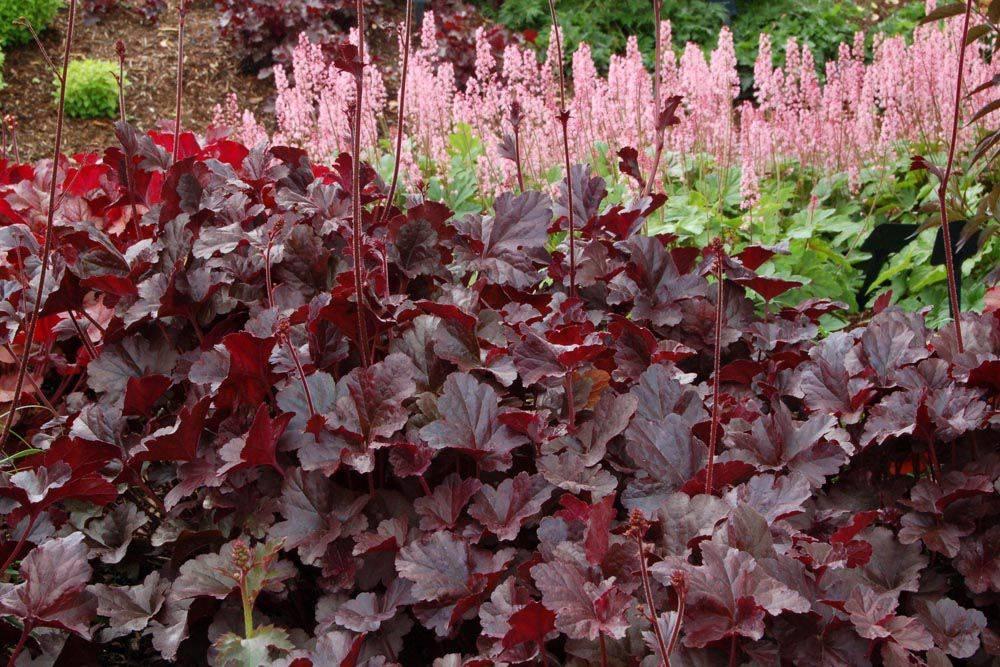 мальвина ярости бордовые растения фото с названиями в саду первая идея