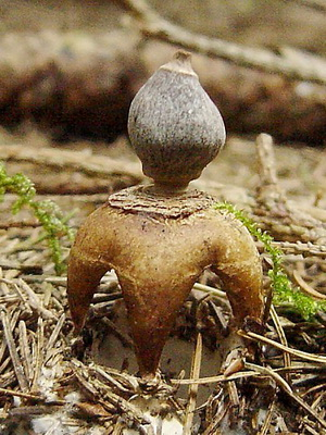 Виды гриба звездовик