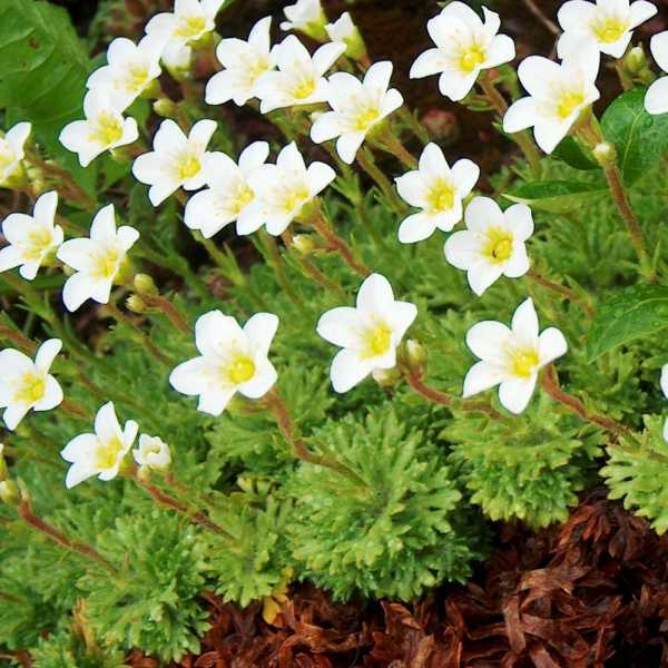 Выращивание кларкии изящной: посадка в открытый грунт и уход за растением