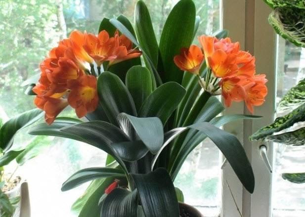 Выращивание кливии в домашних условиях, уход, пересадка и размножение