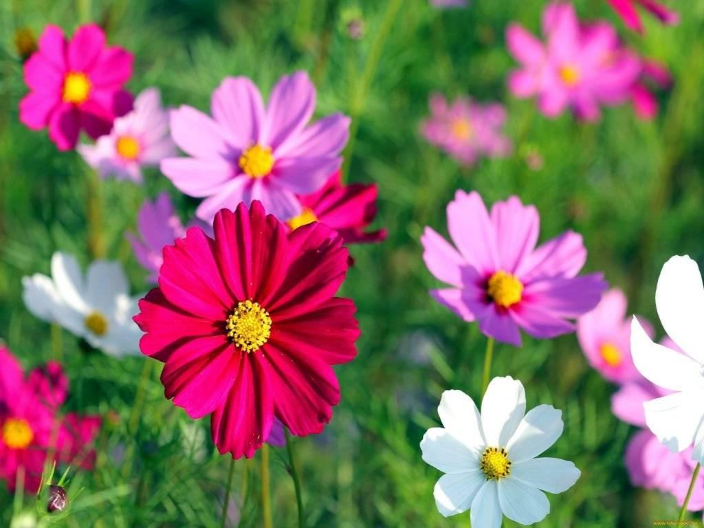 без труда красивые фото цветов космея они