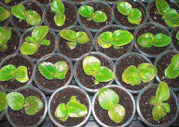 Бегония вечноцветущая, как вырастить из семян?