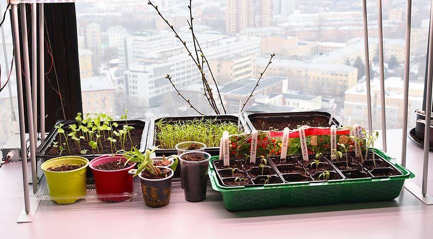 Бегония – выращивание из семян в домашних условиях