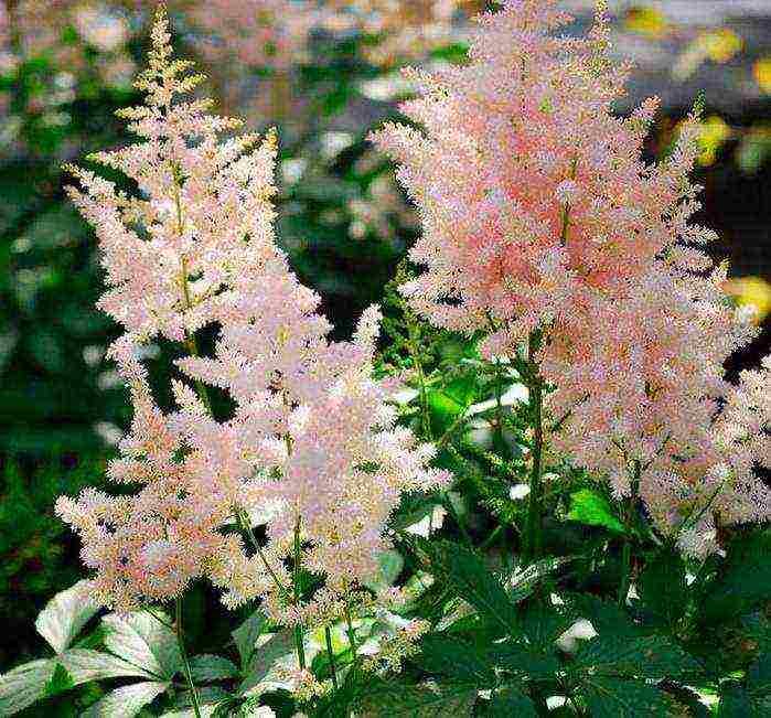 Замечательная астильба: выращивание и уход