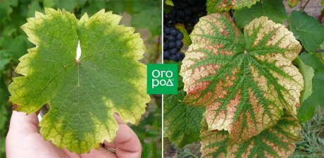 Важная информация от агрономов — почему желтеют листья на яблоне