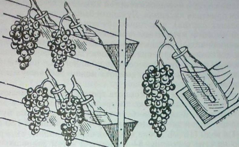 Хранение виноградных листьев для долмы