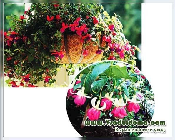 Советы профессионала: как грамотно пересадить фуксию и получить обильное цветение?