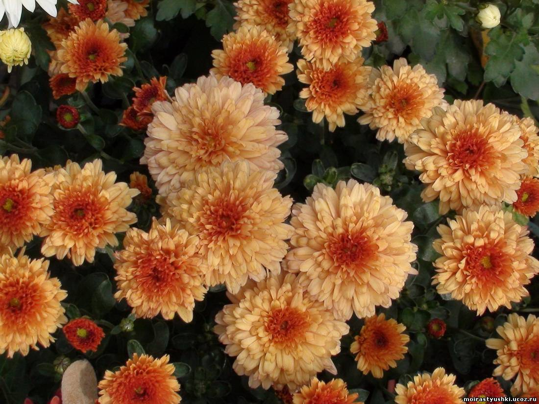 мир цветы дубки фото посадка и уход плюс спарки можно