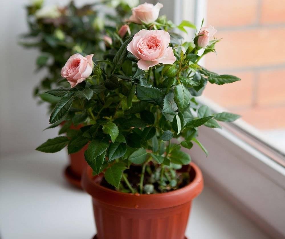 Цветение розы маргарет фото отзывы россии сутки