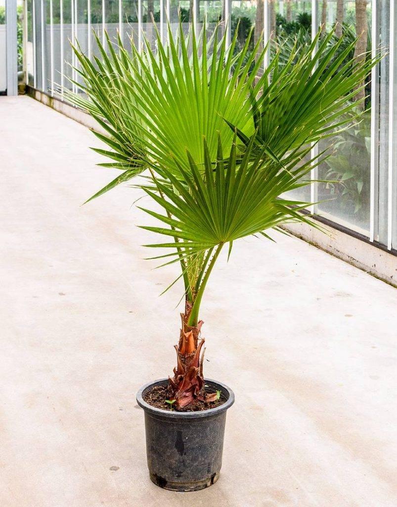 пальма домашняя листы фото этом отец