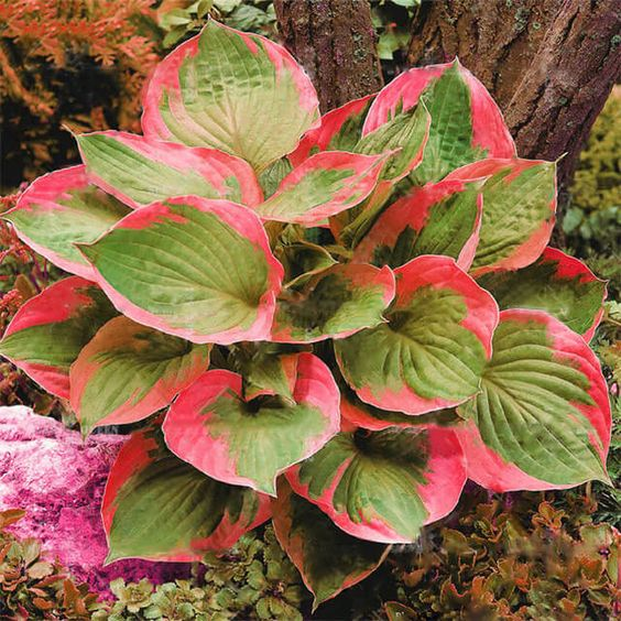 Красная хоста: описание и агротехника