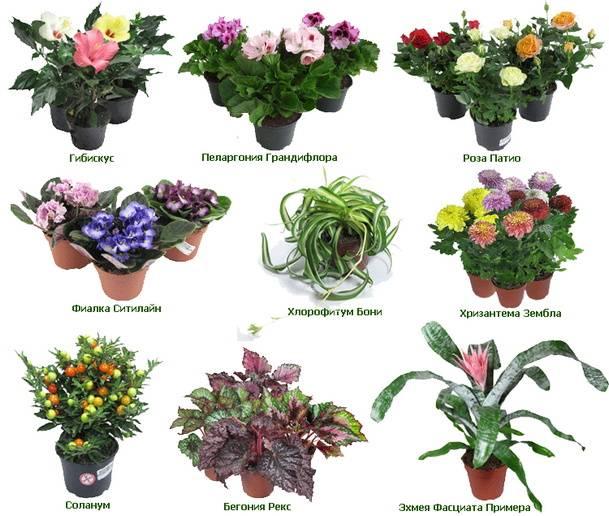Цветы домашние с названием и в картинках