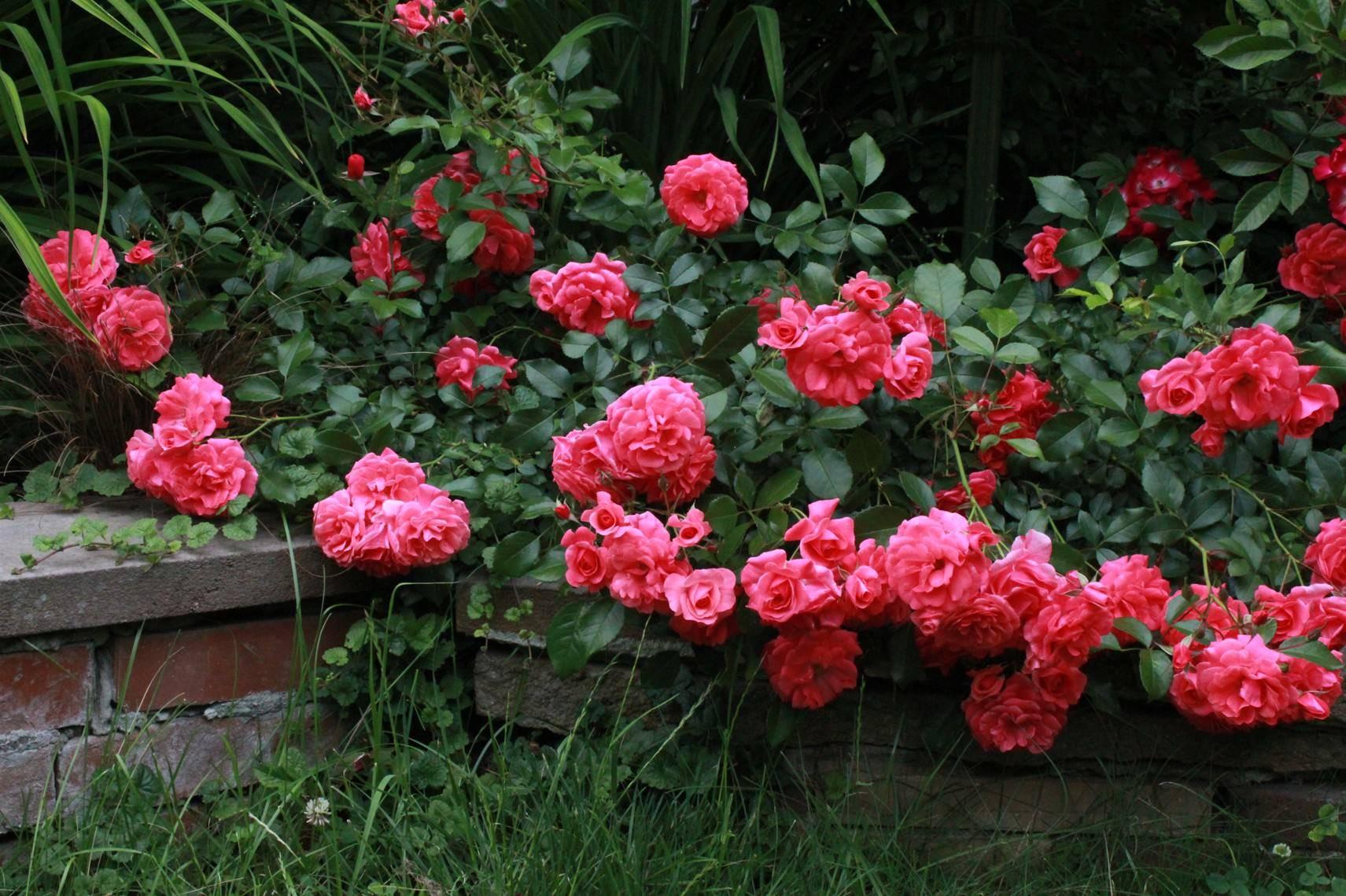 розы почвопокровные сорта фото и описание один