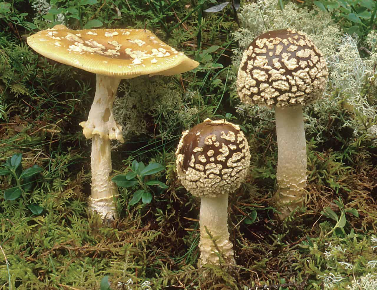 Цезарский гриб (мухомор цезаря)