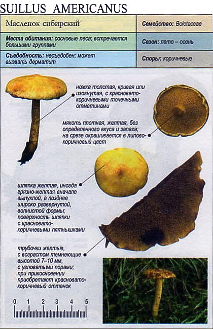 Маслёнок кислый (suillus acidus)