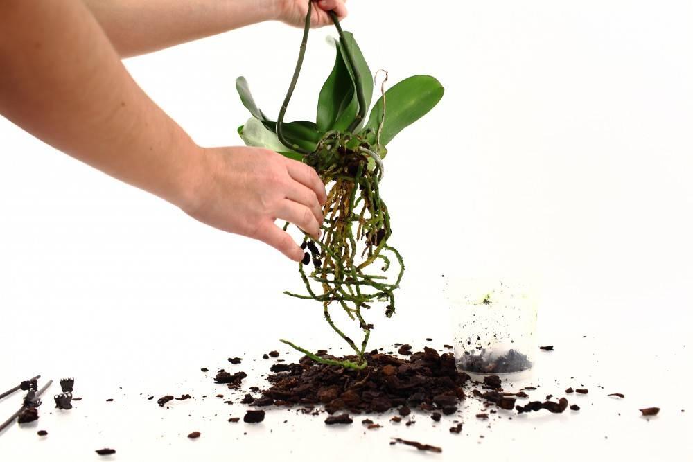 как посадить орхидею в домашних условиях фото новости