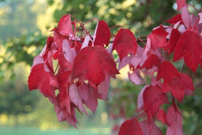 Клен декоративный – виды домашних карликовых кленов для дачи и сада в подмосковье. как правильно рассадить семена?