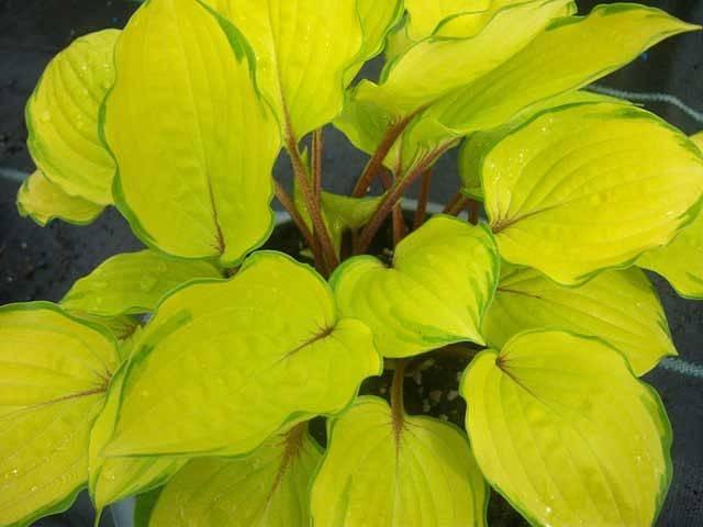 Желтые хосты: сорта с описанием и их выращивание