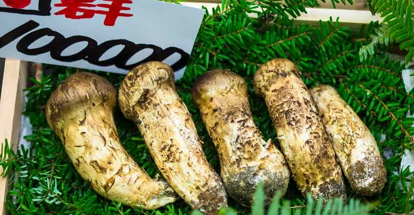 Мацутакэ грибы настойка как принимать