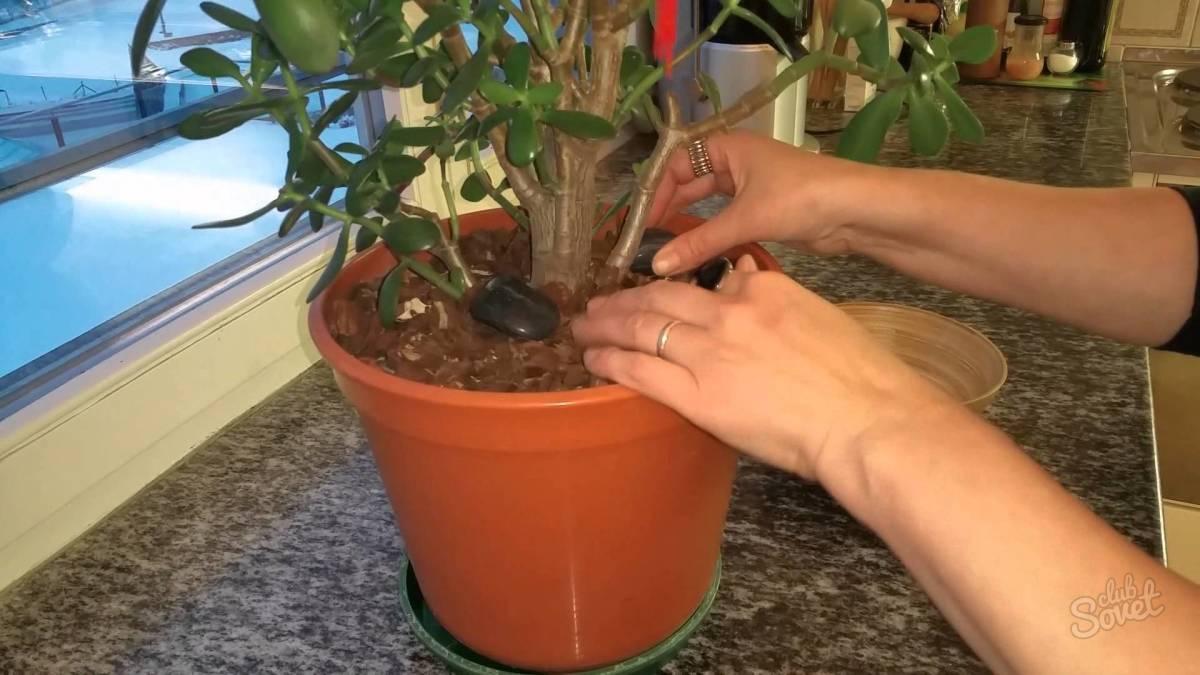 Как пересадить денежное дерево? как правильно его пересаживать зимой в другой горшок в домашних условиях? пересадка отростка. какая земля нужна?