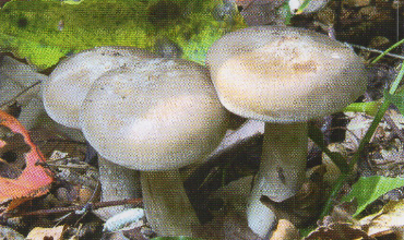 Что таится под необычным названием гриба рядовка скученная?