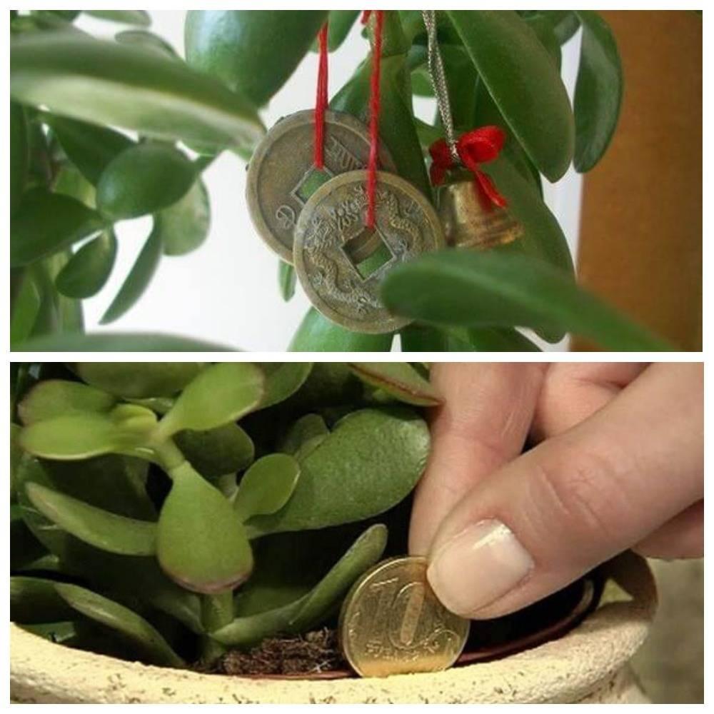 Денежное дерево:  уход в домашних условиях за толстянкой и пересадка
