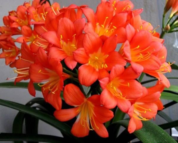 Кливия: полезные рекомендации по выращиванию прекрасного растения