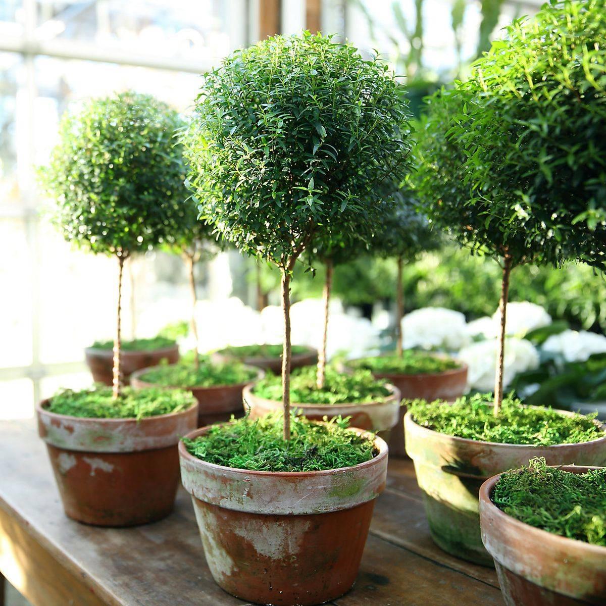 вот как выглядит миртовое деревце фото работы