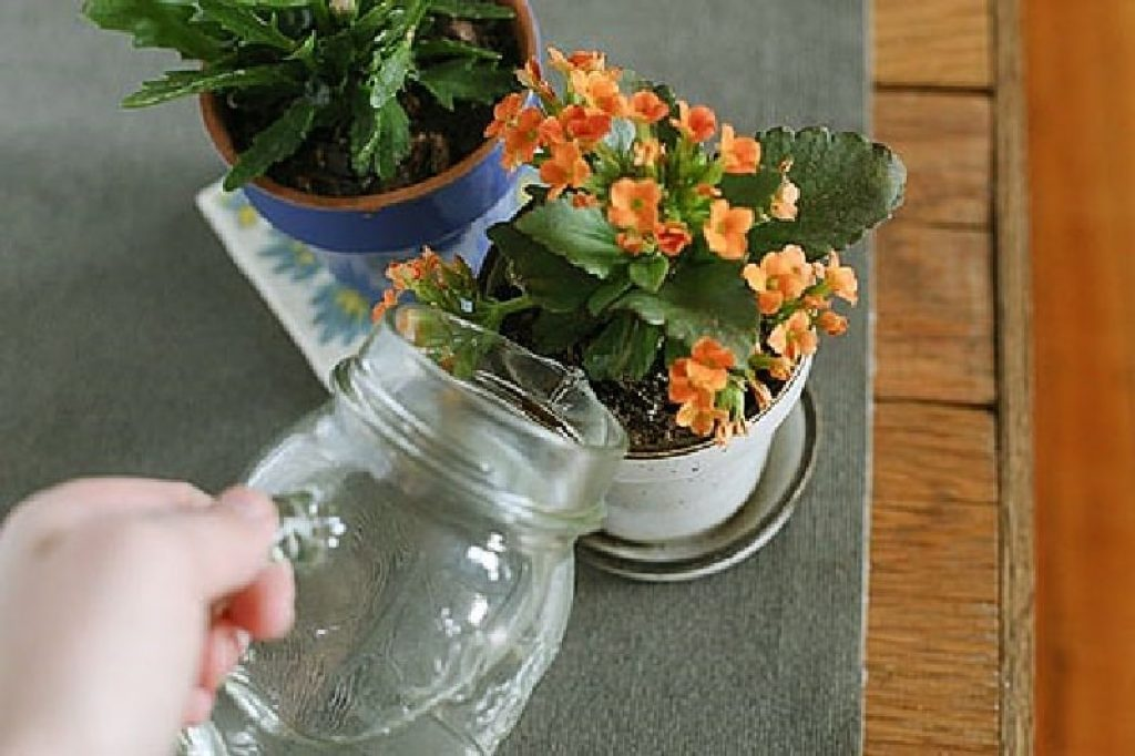 Как пересадить каланхоэ? пошаговая пересадка после покупки  в домашних условиях? дальнейший уход. можно его пересаживать, если цветет?
