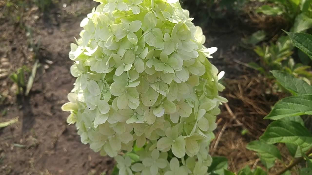 Гортензия литл лайм (little lime) метельчатая