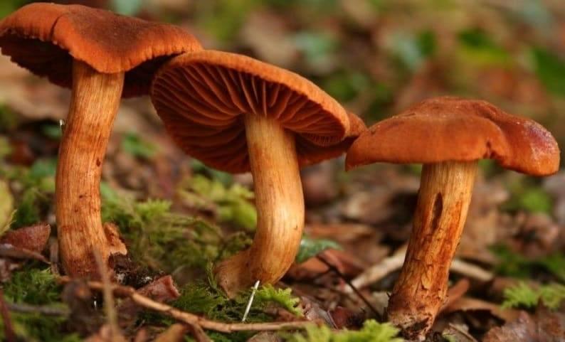Гриб паутинник описание. паутинник оранжево-красный (cortinarius orellanus). вред и опасные свойства