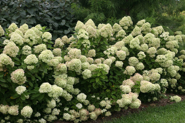 Гортензия метельчатая: сорта, выращивание, обрезка