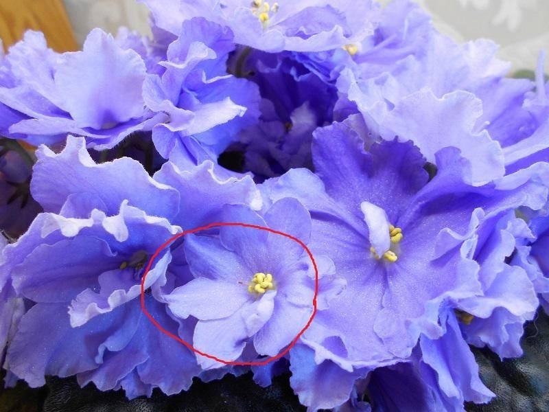 голубая промфиалка фото микропрепарате