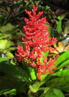 Как ухаживать за растением акалифа в домашних условиях?